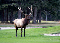 Elk stag on the Banff golf course