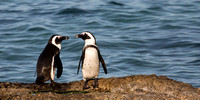 African penguin chat